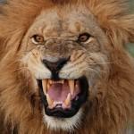 Zuřící lev