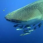 Žralok, ale asi nekouše nic jiného, než plankton