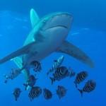 Žralok v Egyptě