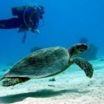 Mořská želva a potapěč (autor: Tom Weilenmann, Flickr)